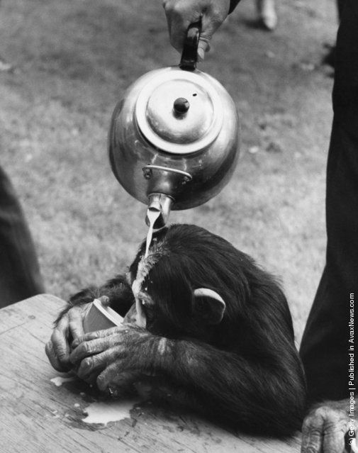 31st May 1965:  A chimpanzee at London Zoo starts drinking before a zookeeper has finished pouring during practice for the Chimps Tea Party