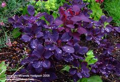 How to Grow Cotinus coggygria 'Royal Purple' , Garden Plant Information