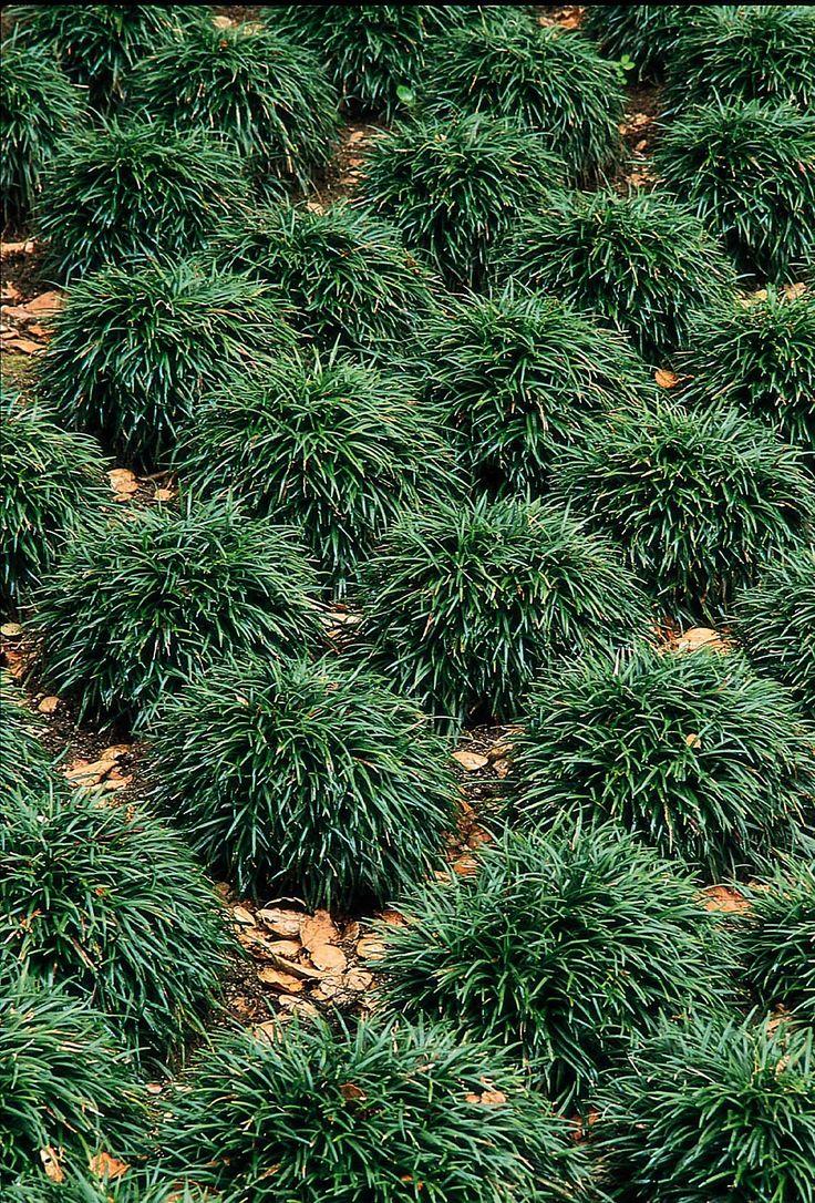 Short ornamental grasses - Dwarf Mondo Grass Easy Care 4 6 Clumps