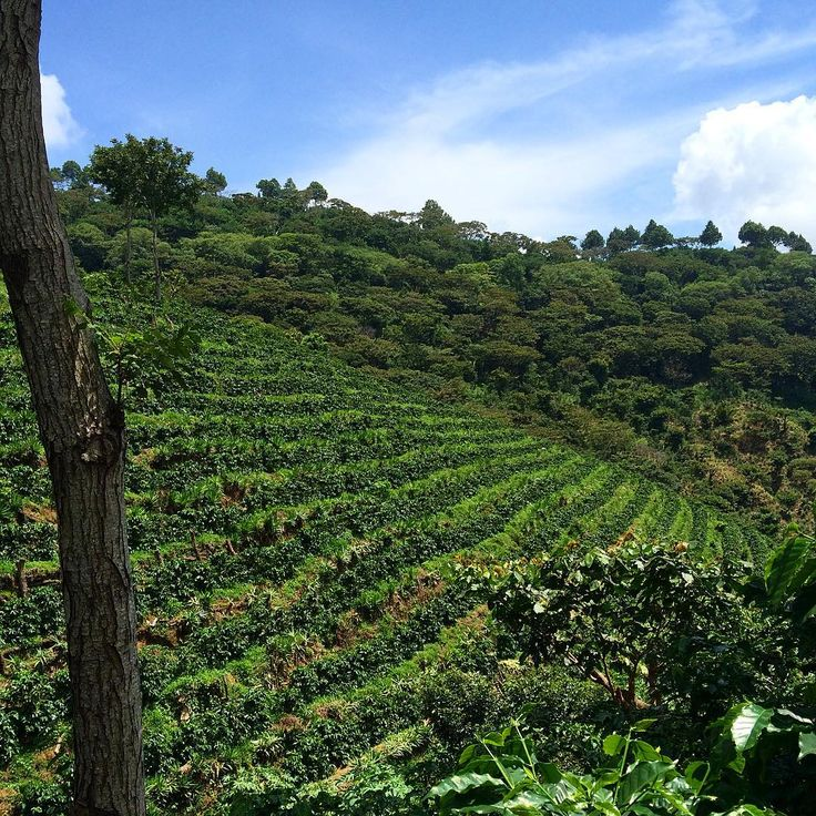 No filter needed. Blue skies beam over our lush terraced Pacamara lot at 1350 meters. In Spanish, we would say these these plants are super cargadas!! Meaning they are packed with beautiful ripening cherries. Can't wait!