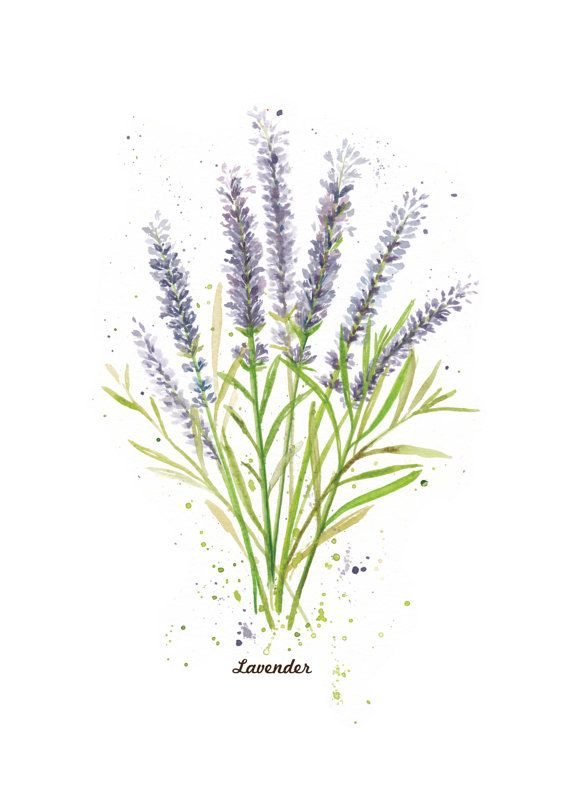 Herbs Series- Lavender. A4 or 8x10 inch Art Print of my original watercolor painting. Kitchen, home wall decor. Gardening poster.