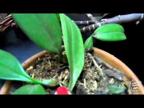 Como fazer mudas de orquídea - parte 3 - Repicagem - YouTube