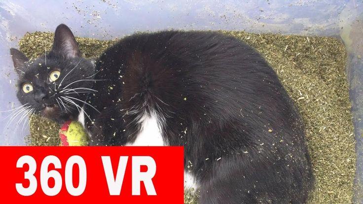 360 VR Cats On Catnip Video 360° VR Video