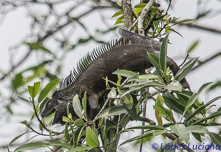 IGUANA MACHO.(Iguana Iguana)IGUANA.