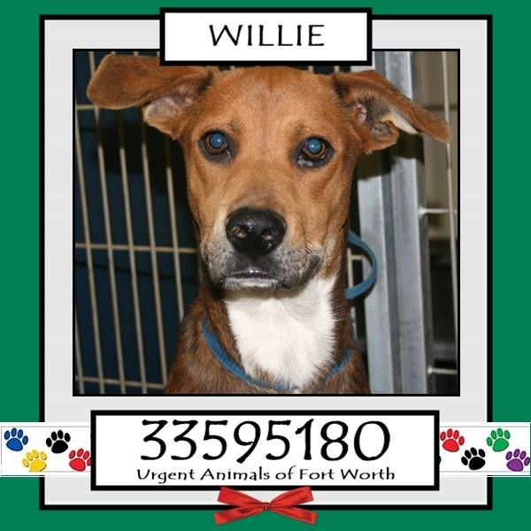 WILLIE located in Fort Worth, TX To be destroyed 11/26/2016 Adopt him now!