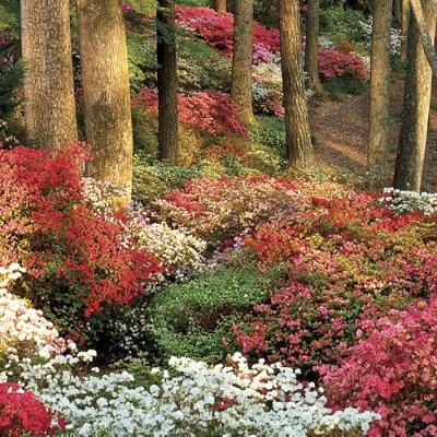 472 Best Images About Garden Flowers Azaleas On Pinterest Gardens Dogwood Trees And Gardening