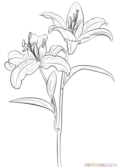 How to draw tiger lily step by step. Drawing tutorials for kids and beginners.