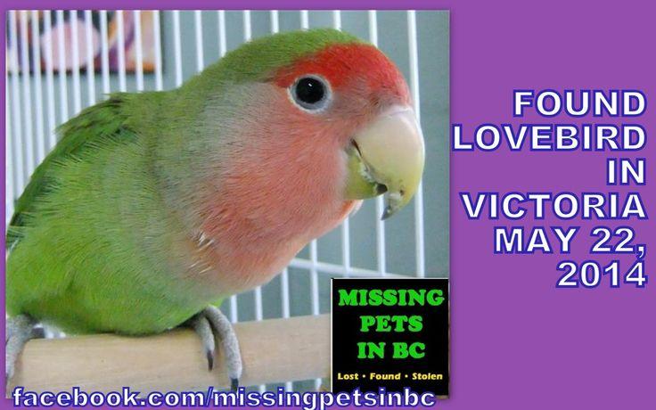 found lovebird in victoria may
