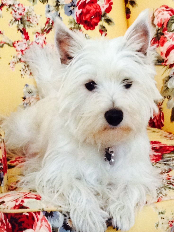 Westie Highland Terrier Prince Edouard Island