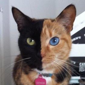 Gatti incredibili: dall'America ecco #Venus, la micetta con il muso multicolore