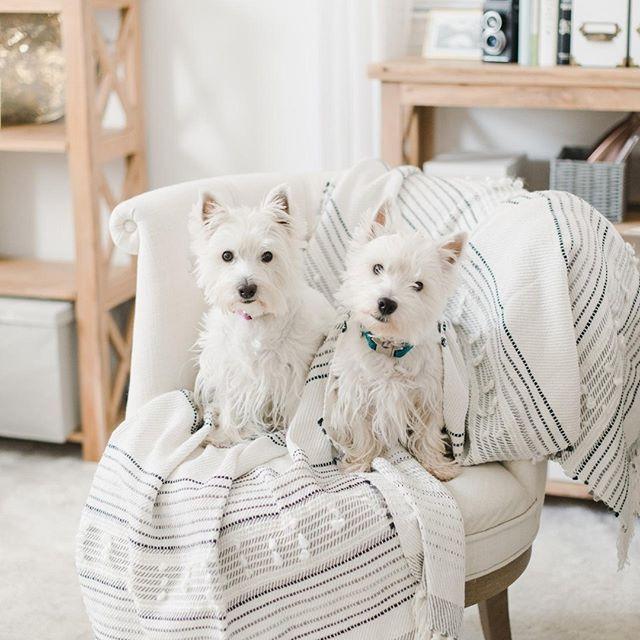 Westie Puppies Nc Westie Puppies Westie Wednesday By Megan Travis Photography Westie Puppies Westies Cute Photos