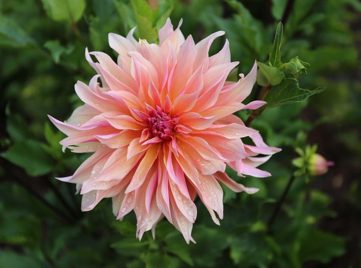 Know Before You Grow: Planting dahlias is easy. Learn all about dahlias including How to Plant Dahlias, When to Plant Dahlia Tubers, and Dahlia Care.