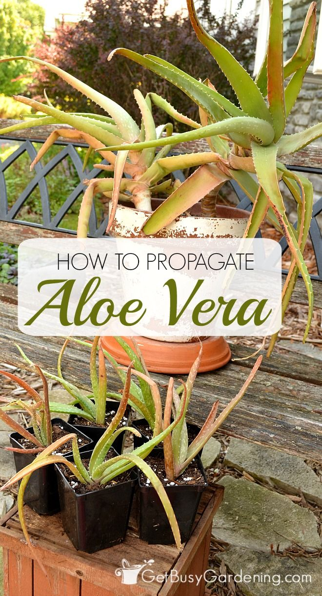 17 best images about indoor plants on pinterest helpful tips money trees and wisteria - Aloe vera plant care tips beginners guide ...