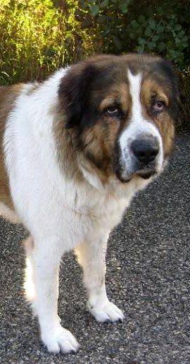 Big Dogs: Greek Shepherd Dog (Hellenic-Poimenikos)