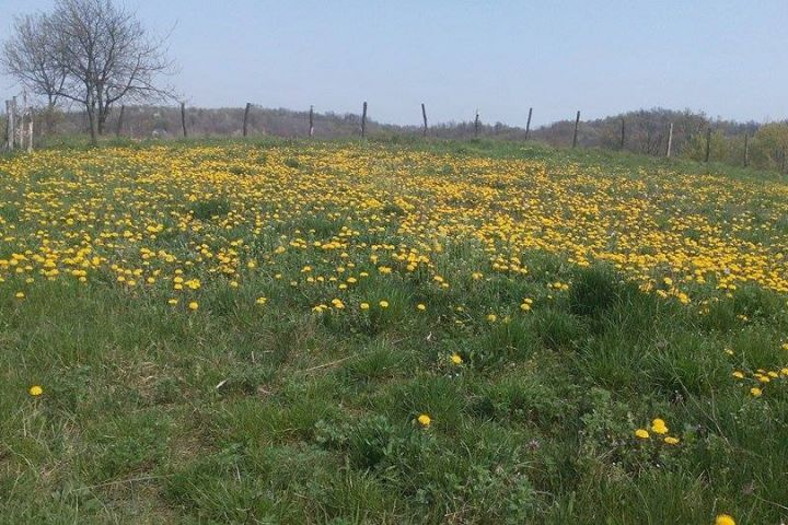 Maslačak, proljeće, Spring,dandelion, yellow