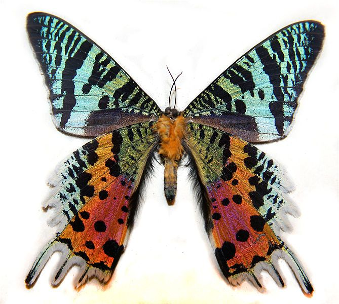 Not a butterfly but beautiful nonetheless The Madagascar Sunset Moth (Chrysiridia madagascarensis)