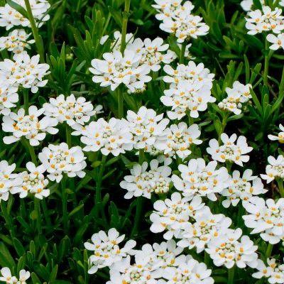 Les 26 meilleures images du tableau plantes de bordure sur for Fleurs blanches vivaces