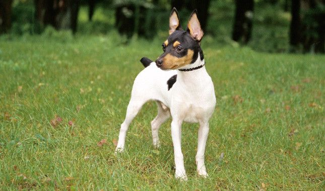 Toy Fox Terrier    Like my Lucy