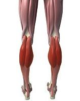 gastrocnemius muscle frog - photo #30