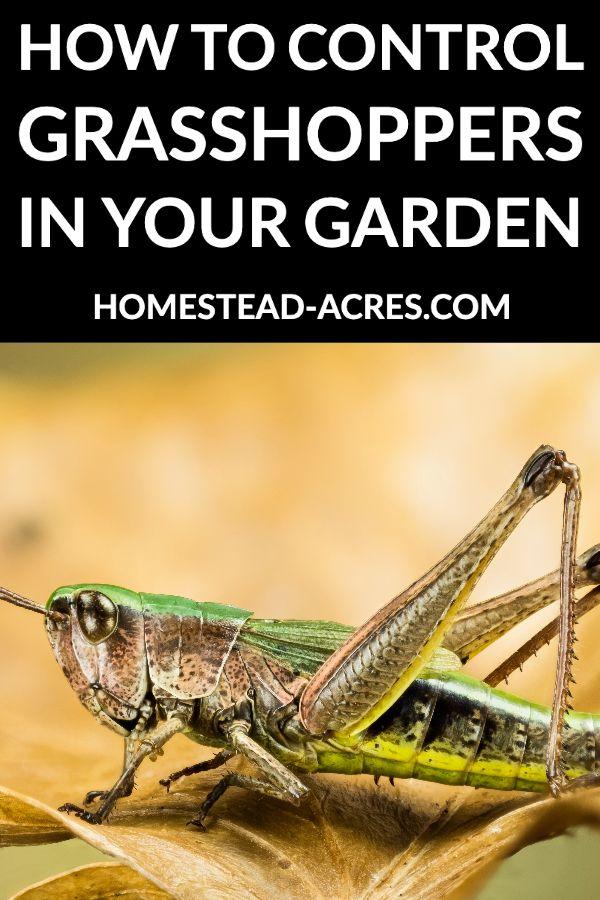 b0c265cb083ac2d1afb45d11dee0641a - How To Get Rid Of Grasshoppers On My Plants