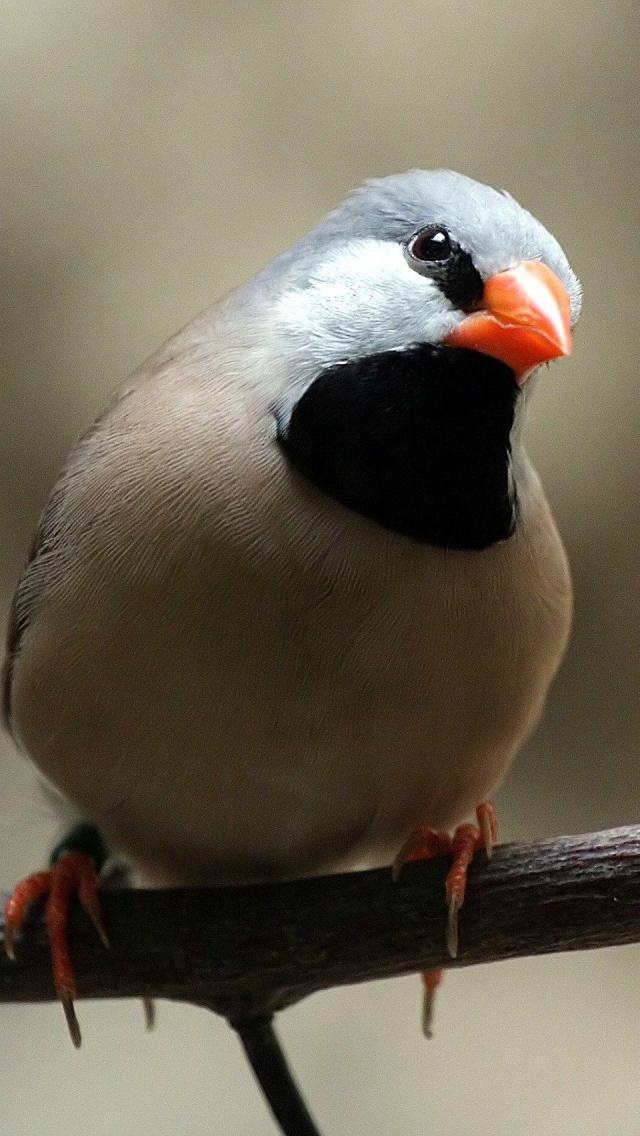 The long-tailed finch (Poephila acuticauda) is a common species of estrildid finch found in Australia; also known as the Blackheart binch,[2] shaft-tail finch, Heck's grassfinch, Heck's grass finch, and Heck's finch. It is a