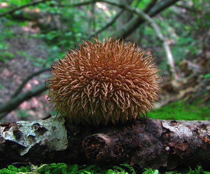 Lycoperdon Echinatum aka Spiny Puffball