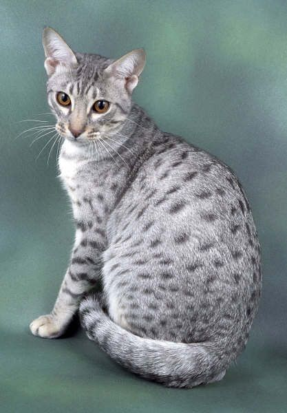 Ocicat - Ocicats look like small, wild, spotted cats, but are a domestic breed created by combining the Siamese, Abyssinian and American Shorthair. The typical coat is actually a spotted tabby, in colors ranging among tawny, cinnamon and chocolate.