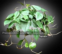 Philodendron - Philodendron scandens oxycardium - Parlor ivy, Sweetheart plant, Heartleaf philodendron, Cordatum vine