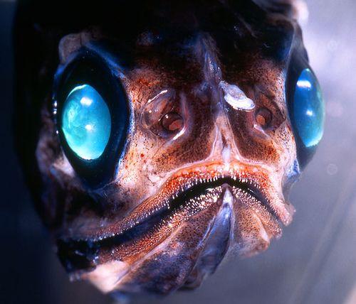 Deep Sea Lantern Fish