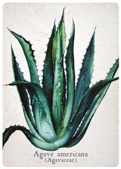 Carte botanique Agave americana