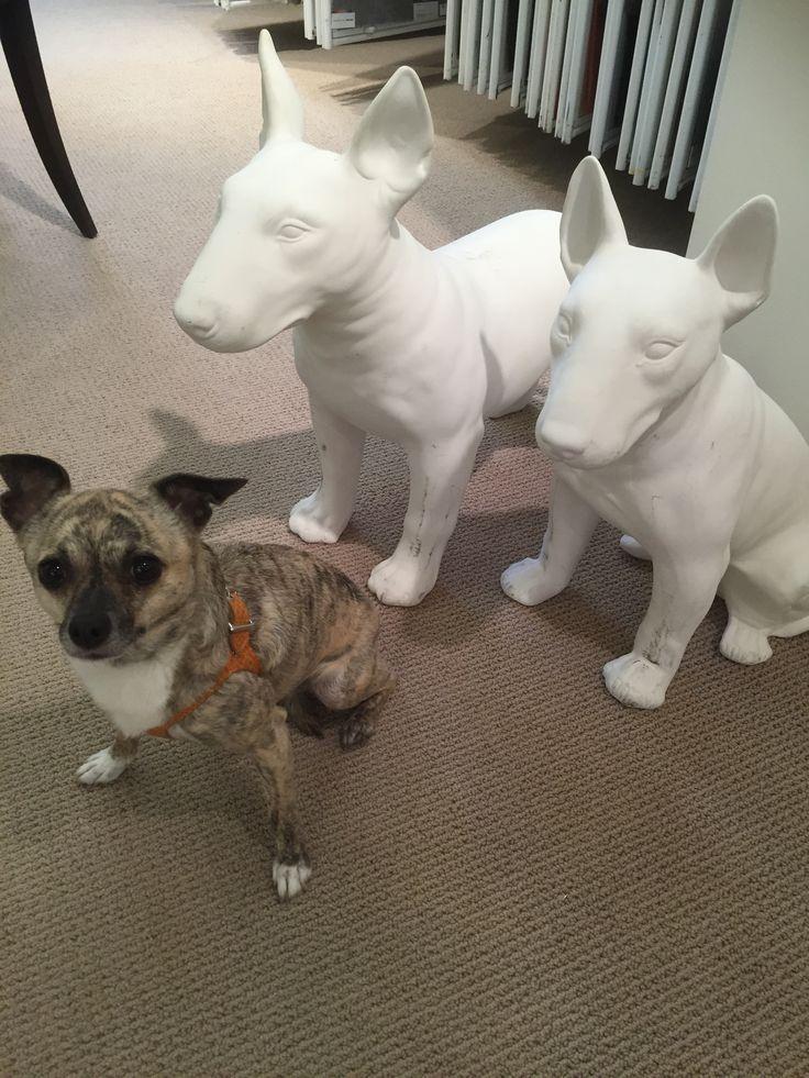 lola at the Kravet Showroom #lolathedesignerdog #kravet