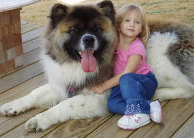 I saw a long haired Akita like this at PetSmart the other night. Huge dog, with a very long coat and polka dot legs just like this one. An amazing animal.