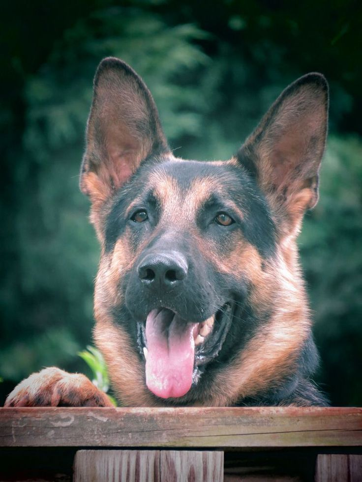 best 25  german shepherd puppies ideas on pinterest
