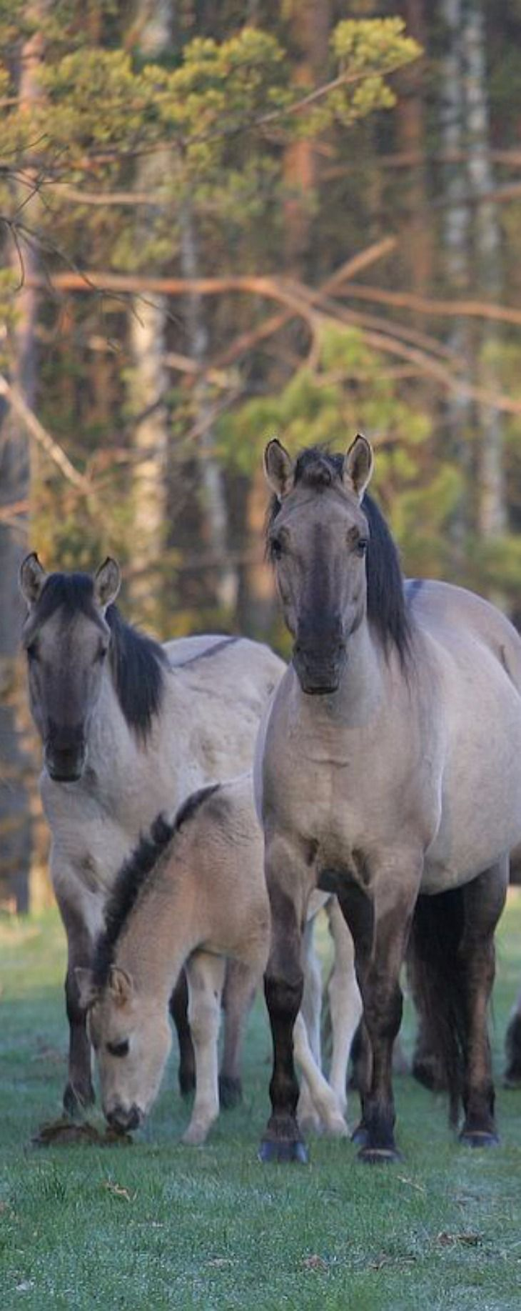 The Polish Pony - breed of primitive horse in Poland. Poland, Roztocze National Park