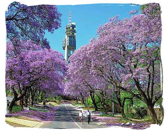Suburban road and jacaranda trees in Pretoria