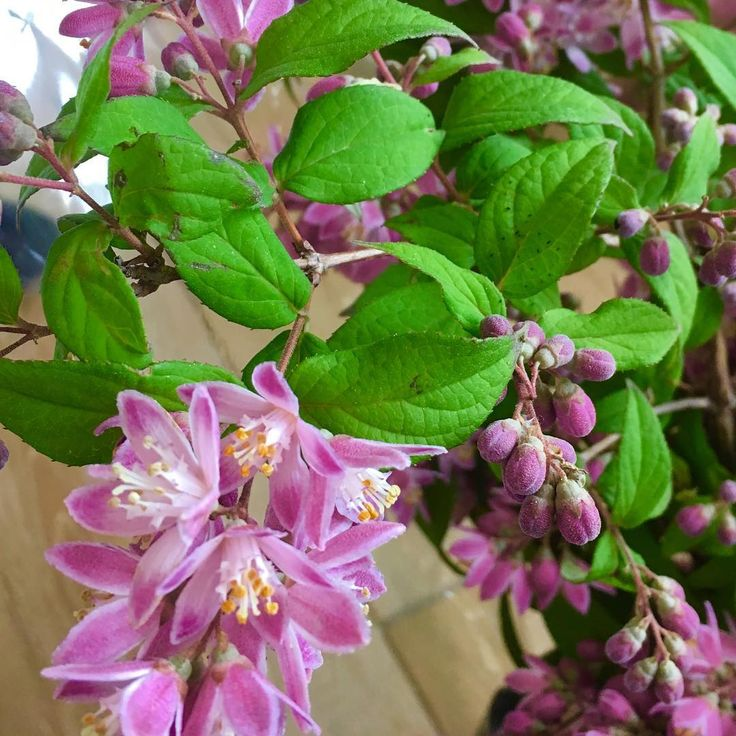 こんにちは��  初夏の白い花木、ウツギにピンクの品種があるって、知っていましたか?  その名もストロベリーフィールド。咲きたては��の香りがするそうです������ ウツギの別名は卯の花(うのはな)。旧暦4月の卯月は、ちょうどこの花が咲くことからつけられたそうです。旧暦4月…今の暦では4月下旬〜6月下旬上旬。まさに今!�� byピーターパン  #hana #flower #flowers #flowerslovers #flowerstagram #pinkflowers #花時間 #花時間2017 #花 #花好き #花藝 #花好きな人と繋がりたい #花が好きな人と繋がりたい #花のある生活 #花のある暮らし #ウツギ #卯の花  #初夏の花  #botanicallife  #花屋さんへ行こう http://gelinshop.com/ipost/1522222005398925493/?code=BUgBNlNFfC1