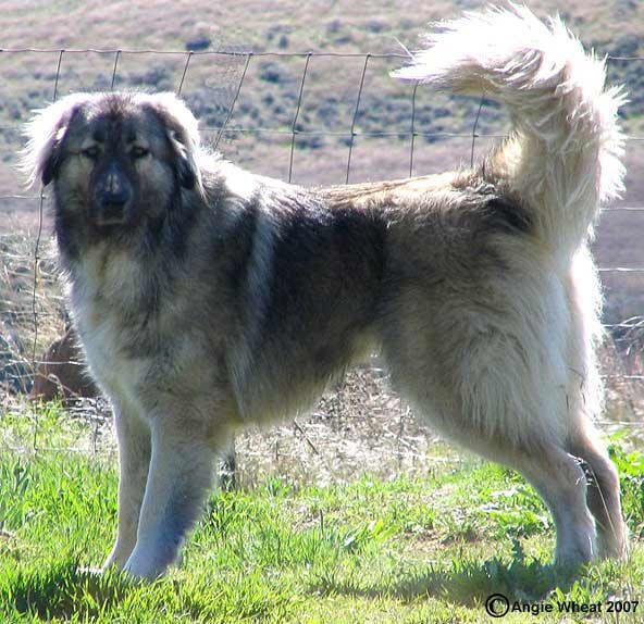 28 best caucasian shepherd dogs images on Pinterest