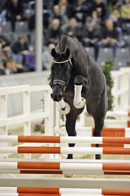 Tannenhof's Download      「Desperados x Wanessa」      Hanoverian Stallion