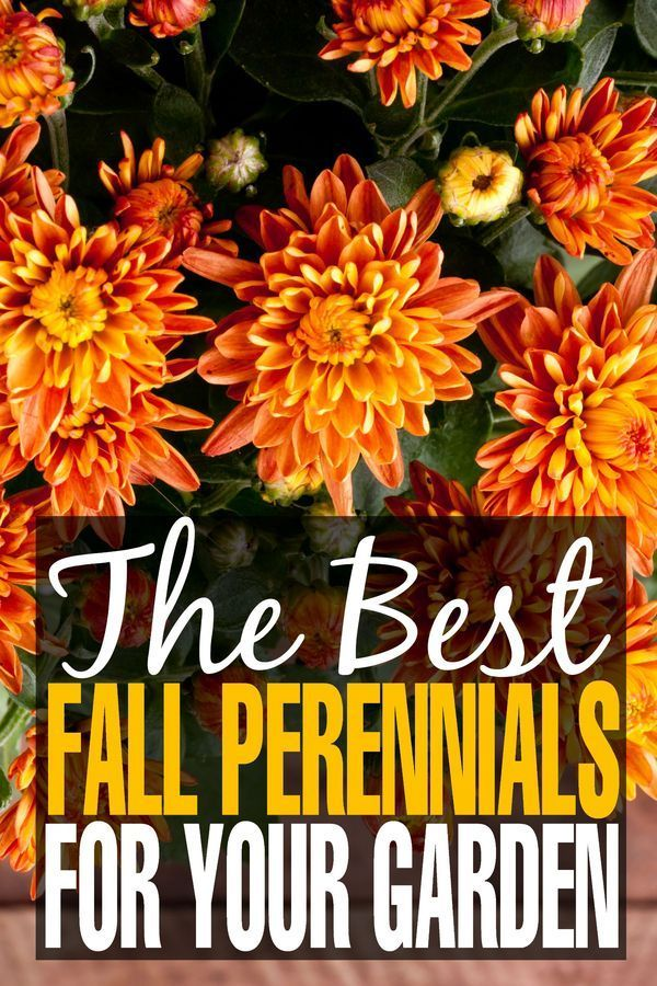 The Best Fall Perennials for your Garden & More Gardening Tips for Autumn! These fall flowers will transition you from summer and turn heads this season!