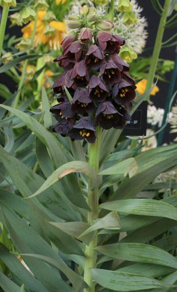 335 best fritillaria images on Pinterest Garden Black and Gardening