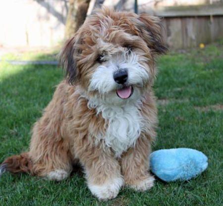 Poodle Mix puppy - cute little guy
