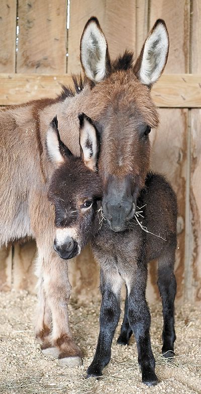 Sweet Baby Donkey and I have never seen the dark muzzle on the Mom before.