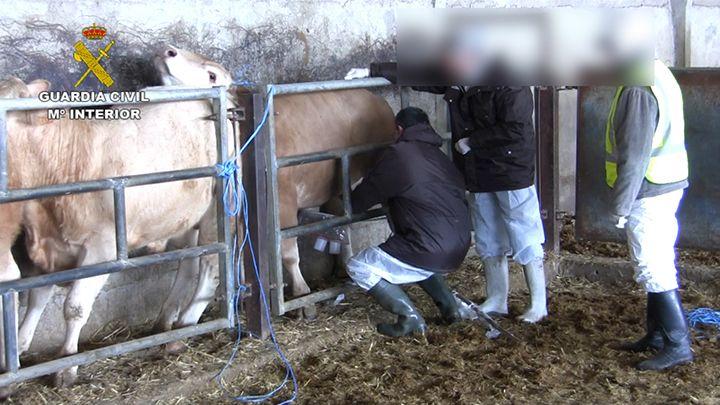 La Guardia Civil detiene 14 personas por engorde ilegal ganado