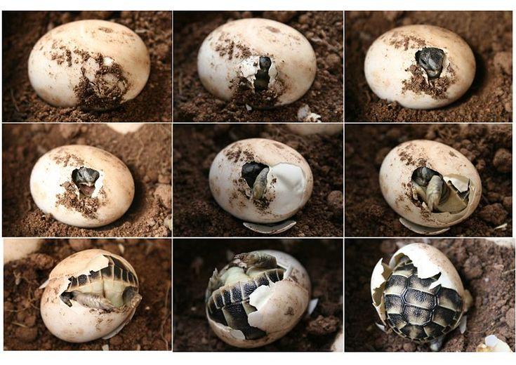Éclosion d'une tortue d'Hermann en neuf étapes.