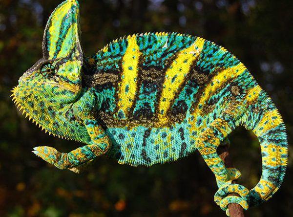 Fl Chams Veiled Chameleon Cute Small Animals Chameleons For Sale