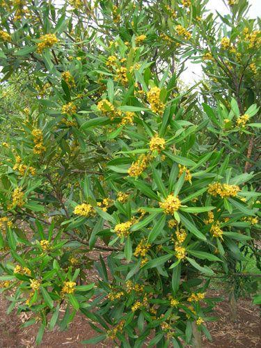 TRISTANIOPSIS laurina (Water Gum or Kanooka) Australian Native Tree