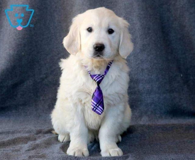 Pin By Pam Williams On Animals Puppy Adoption Puppy Breeds Golden Retriever