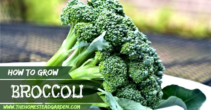 how to take care of broccoli plants