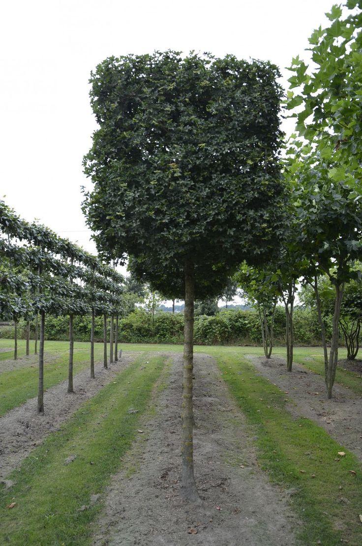 17 best images about trees on pinterest trees hedges and ash. Black Bedroom Furniture Sets. Home Design Ideas