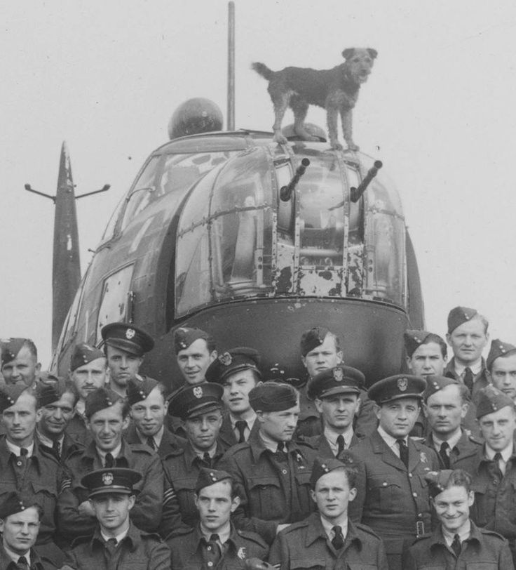 Ciapek, official mascot of 305 bomber squadron. Flew many missions, logged as a 'passenger.' On one of his missions, the plane never returned and was presumed lost at sea. It seemed he was killed in action, months later he reappeared in a nearby town. How he had survived the plunge into the sea, etc. remains a mystery. ID'd by his collar, which had the RAF Polish station's name and small wooden bombs on it—one for each of the missions he had flown on. Ciapek was reunited with 305 Squadron.